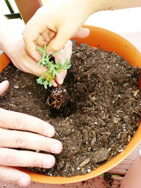 how to plant a deck tree